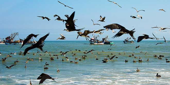 mar peruano pelicano